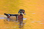 Wood Duck (Aix sponsa), male calling, fall color reflection in water, Ohio, USA