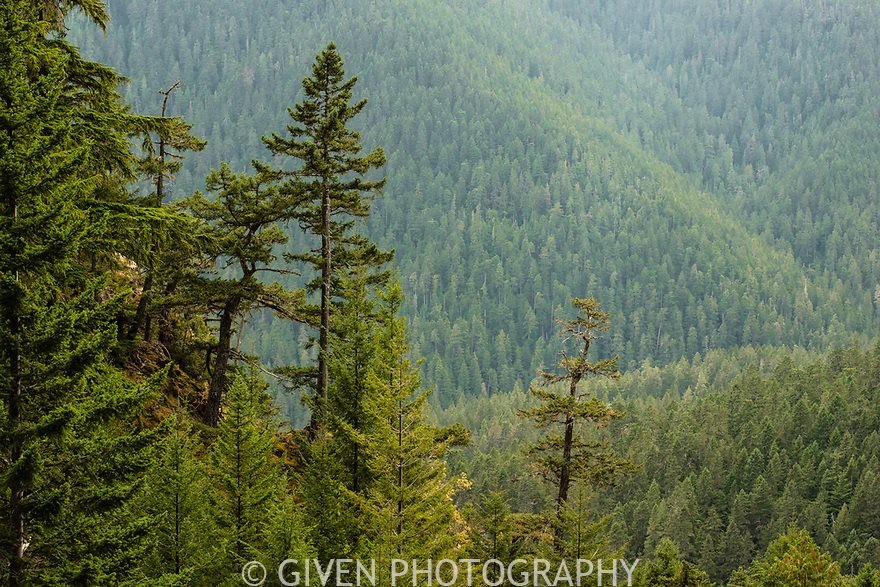 Old Growth Forest, Olympic National Park, Washnington