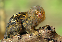 .Pygmy Marmoset (Callithrix pygmaea), adult, Amazon Forest, Leticia, Colombia