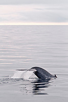 blue whale, Balaenoptera musculus, sub-surface feeding off the edge of the continental shelf on the northwestern side of Spitsbergen Island in the Svalbard, Norway, Arctic Ocean