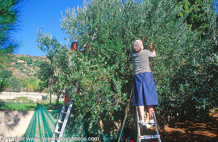 British woman picking olives from a tree, Sicily, Italy