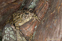 0602-0906  Fowler's Toad, Anaxyrus fowleri [syn: Bufo fowleri (Bufo woodhousii fowleri)]  © David Kuhn/Dwight Kuhn Photography