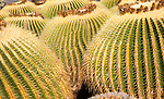Jardin de Cactus designed by César Manrique, Guatiza, Lanzarote, Canary Islands, Spain. Cactaceae, Echinocactus grusonil,