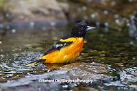 01611-08811 Baltimore Oriole (Icterus galbula) male bathing Marion Co., IL