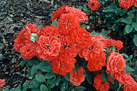 Rosa  'Orange Sunblaze'(TM) = 'Meijikatar' patio miniature rose