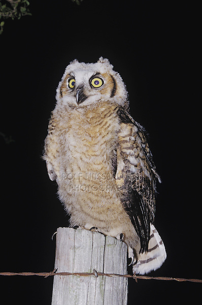 Great Horned Owl (Bubo virginianus), fledgling at night, Starr County, Rio Grande Valley, Texas, USA