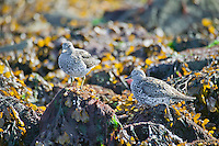 Surf birds, Montague Island, Prince William Sound, Alaska