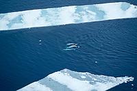 aerial of beluga whales, Delphinapterus leucas, in lead, Canadian Arctic