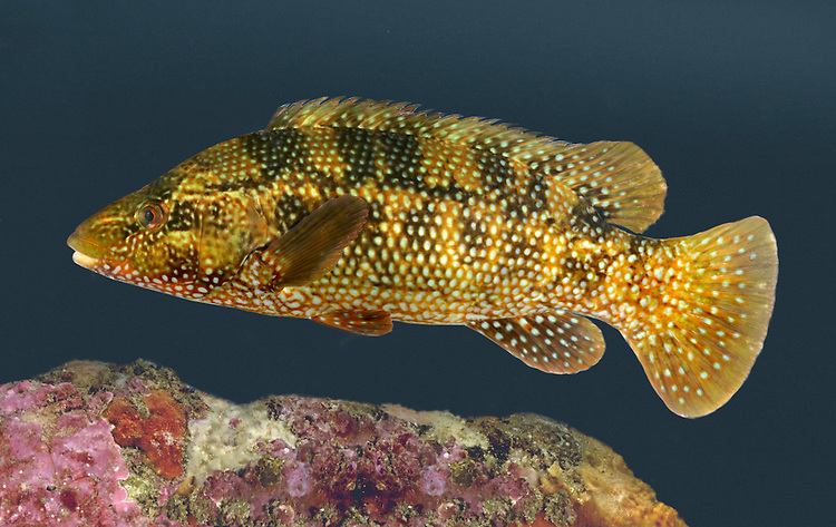 Ballan Wrasse Labrus bergylta Length to 30cm<br /> Our most familiar and colourful wrasse. Found inshore on rocky coasts, sometimes in rockpools too. Adult has a thickset body and a long dorsal fin characteristic of all wrasse. The colour is variable but often marbled reddish-brown or green. Widespread and locally common except off coast of E England.