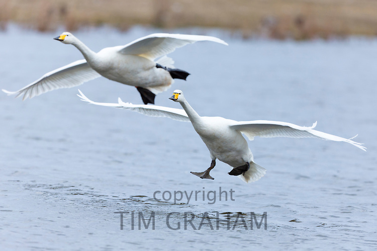 Pair of Whooper Swan, Cygnus cygnus, in flight and landing with wings spread wide at Welney Wetland Centre, Norfolk, UK