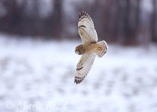 Short-eared Owl (Asio flammeus), in flight in winter, Ithaca, New York, USA