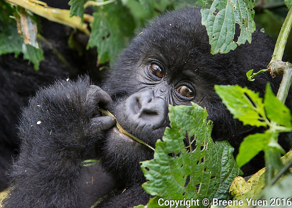 Gorilla Portrait Through Leaves Rwanda 2015