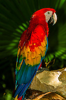 Scarlet macaw, Xcaret Park (Eco-archaeological Theme park), Riviera Maya, Quintana Roo, Mexico\