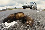 A road kill European polecat (Mustela putorius) on a road over the Berwyn's, north Wales