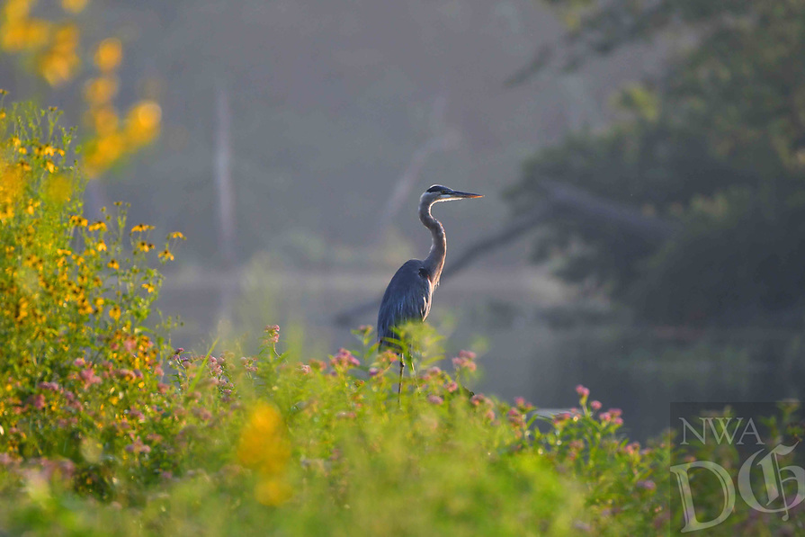 Courtesy photo/TERRY STANFILL<br />A great blue heron rests Aug. 23 on the shore of Siloam Springs Lake.