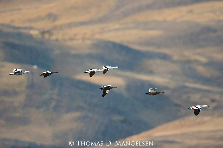 A flock of Ruddy-headed Goose fly high above the landscape in Patagonia, Chile.