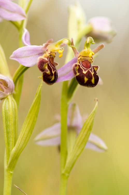 Bee orchid, Ophrys apifera, in traditional hay meadow. Clattinger Farm, Wiltshire. UK. This habitat has been reduced by 98% in the UK since the Second World War. This is largely due to the intensification of farming practices.
