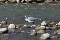 Ibisbill on the Shores of the Indus River near Leh, Ladakh