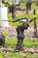 merlot guyot trained vines old vine chateau la garde pessac leognan graves bordeaux france