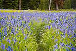 camas flowers fill packer meadows along the lewis and clark trail at lolo pass on montana idaho border