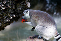 A ring-tailed lemur catta refreshes with a frozen watermelon at the Bioparco of Rome, Italy, August 8, 2017. Rome temperatures exceeded 40 degrees C.<br /> UPDATE IMAGES PRESS/Riccardo De Luca