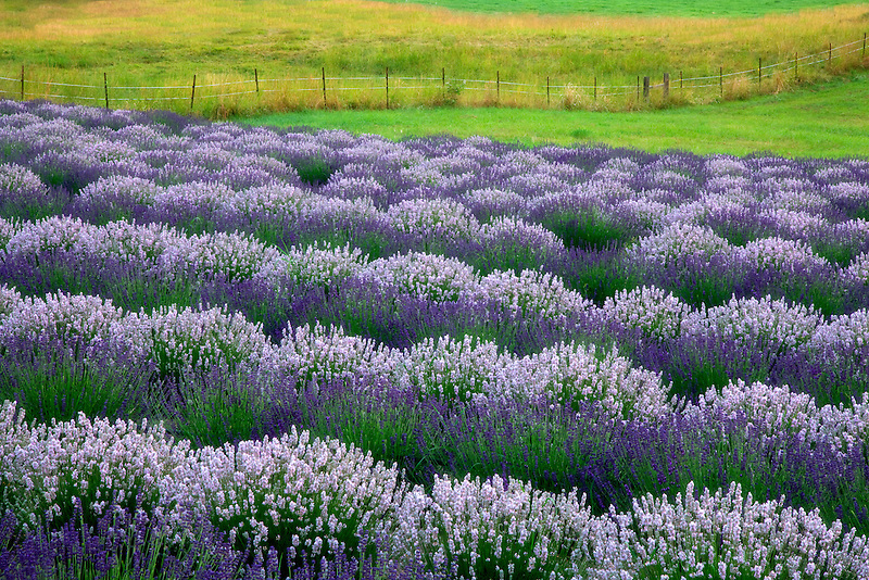Rows of lavender and fence. Purple Haze Lavender Farm. Washington