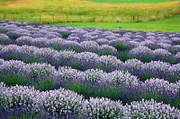 Rows of lavender and fence. Purple Haze Lavender Farm. Washington