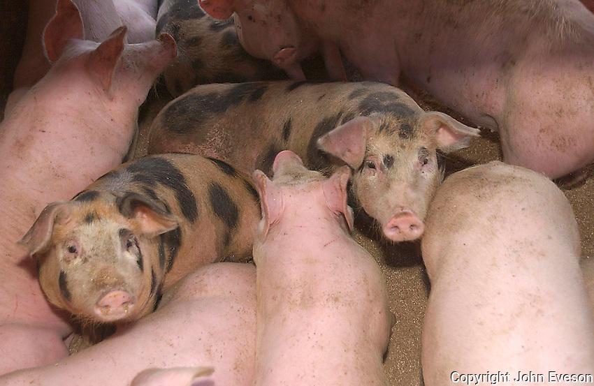 Fattening pigs.
