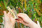 A customer hangs her wishes on a bamboo tree decorated with gold and platinum paper strips (Tanzaku) in Ginza, Tokyo on July 3, 2015. It is Japanese custom to write a wish on a paper strip and hang this on a tree to celebrate the annual festival of Tanabata. After the festival the store will offer the gold and platinum strips to the Akasaka's Hie-jinja shrine. (Photo by Rodrigo Reyes Marin/AFLO)