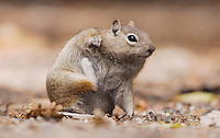 Golden-mantled Ground Squirrel, Spermophilus lateralis, adult scratching, Rocky Mountain National Park, Colorado, USA, September 2006