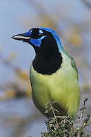 Green Jay, Cyanocorax yncas,adult, Starr County, Rio Grande Valley, Texas, USA, March 2002