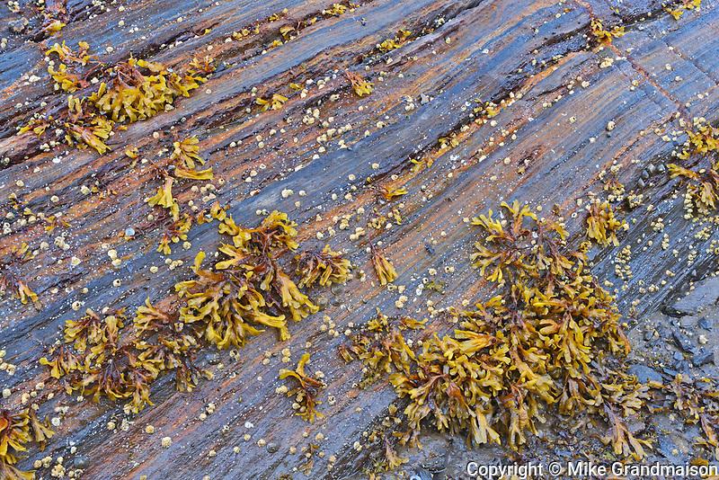 Seaweed on rock at low tide, Prince Rupert, British Columbia, Canada