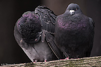 Two rock pigeons rest on a cross arm of the pillings at Mukilteo Ferry Dock.