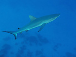 Ulong Channel, Palau -- Gray reef shark prowling the channel.