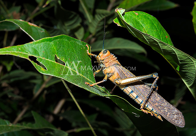 Giant grasshoppers really are quite large, some as long as my hand.