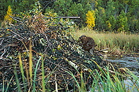 Beaver working on lodge in early fall