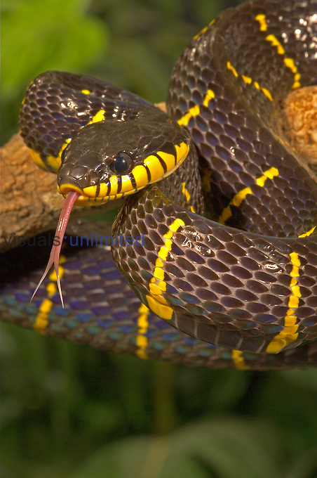Mangrove Snake ,Boiga dendrophila melanota,