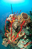 Sponge scenics at Cane Bay Wall .St. Croix, .US Virgin Islands