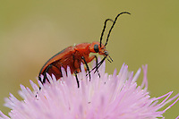 Soldier beetles (Cantharidae), adult on Texas thistle (Cirsium texanum), Fennessey Ranch, Refugio, Coastal Bend, Texas Coast, USA