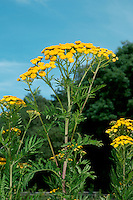 TANSY Tanacetum vulgare (Asteraceae) Height to 75cm<br /> Robust, upright perennial that is strongly aromatic. Grows on roadside verges, and in hedgerows and disturbed ground. FLOWERS are borne in golden yellow, button-like heads, 7-12mm across, that comprise disc florets only; these appear as flat-topped, umbel-like clusters, up to 12cm across, comprising up to 70 heads (Jul-Oct). FRUITS are achenes. LEAVES are yellowish green and pinnately divided with deeply cut lobes. STATUS-Common and widespread throughout the region.