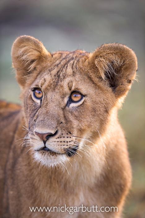 Juvenile African Lion (Panthera leo)  8-10 month old. Ol Kinyei Conservancy, Masai Mara Game Reserve, Kenya.