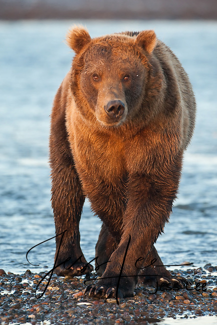 A photo of a Coastal brown bear standing cross legged on the beach. Grizzly Bear or brown bear alaska Alaska Brown bears also known as Costal Grizzlies or grizzly bears