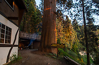 The Bullen Tree next to Chalet Simone, seen at sunse with a BBQ starting up in the background.