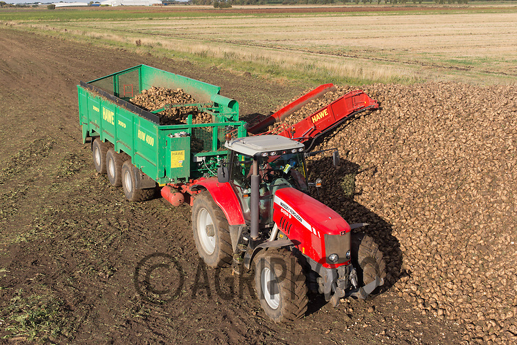 Contractor Richard Ivatt lifting sugar beet in Lincolnshire at the start of the 2015 campaign using a Hawe Ruw 4000 Beet Transfer Trailer <br /> Picture Tim Scrivener 07850 303986<br /> tim@agriphoto.com<br /> &hellip;.covering agriculture in the UK&hellip;.
