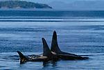 Orca whales, Johnstone Strait, British Columbia, Canada