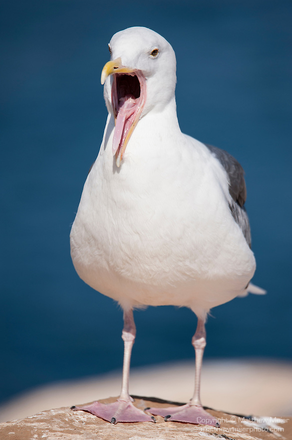 La Jolla Cove, La Jolla, California; an adult Western Gull (Larus occidentalis) with it's mouth open, standing on the cliffs overlooking the Pacific Ocean