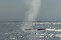Fin Whale, Balaenoptera physalus, Spout, Off the coast of San Diego California