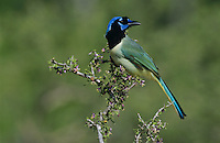Green Jay, Cyanocorax yncas, adult on blooming Guayacan (Guaiacum angustifolium) , Starr County, Rio Grande Valley, Texas, USA, March 2002