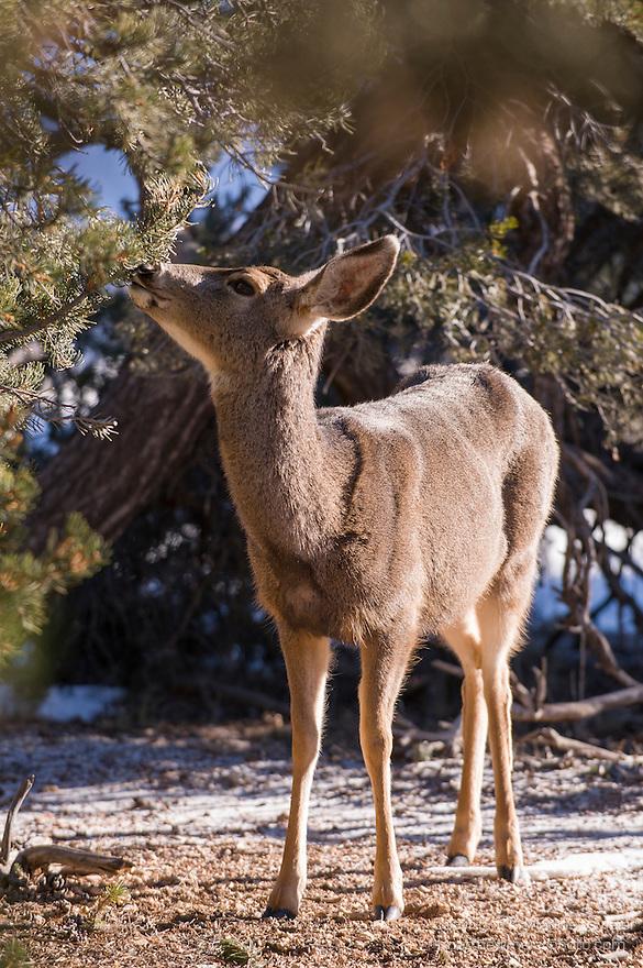Grand Canyon National Park, South Rim, Arizona; Mule Deer (Odocoileus hemionus), solitary female feeding in the early morning light during winter