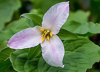 Pacific Trillium or Western White Trillium (Trillium ovatum)--common early spring wildflower of Pacific Northwest lowland forests.